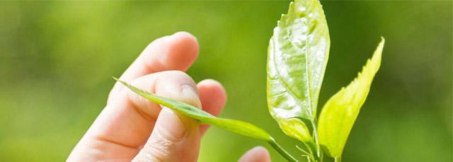Fingerspitzen, die ein Blatt von einer Pflanze in der Hand halten